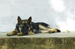 Thai dog look sad Royalty Free Stock Photos