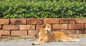Thai dog lying on a ground Stock Photos