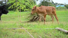 Thai Dog playing with Baby cow. This VDO shooting location at Phattalung province of southern Thailand stock video footage