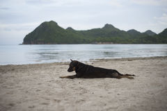 Thai dog relaxing, resting,or sleeping at the beach at sunset moment,blurred background,selective focus. Royalty Free Stock Photos