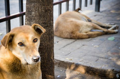 Thai dog resting onthe street. Royalty Free Stock Photography