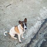 Thai dog. Sit on the cement floor stock photo