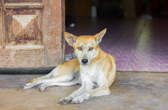 Thai dog sitting alone Royalty Free Stock Photo