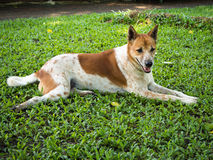 Thai dog Stock Images