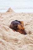 Thai dog sleep on beach Stock Photos