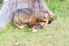 Thai dog sleep in grass yard Stock Photo