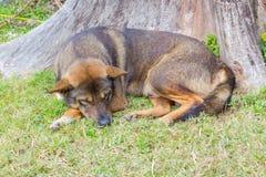 Thai dog sleep in grass yard Royalty Free Stock Photo