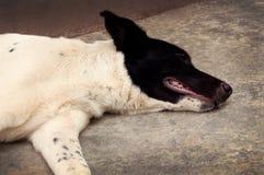 Thai dog sleeping on cement background royalty free stock photo