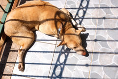 Thai dog sleeping. With mood light shadow sun rays beaming over Royalty Free Stock Photos