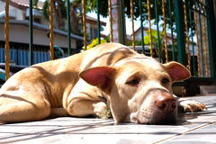 Thai dog sleeping. With mood light shadow sun rays beaming over Royalty Free Stock Images