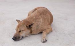 Thai dog sleeping. At phuket Stock Image