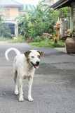 Stray dog waiting something at the street. Thai dog on street, Dog with two different colored eyes. friendship concept. animal concept Stock Image