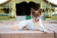 Thai dog in temple Stock Photo