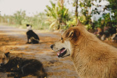 Thai Dog vacant  looking ahead and near with a friends. Royalty Free Stock Photo