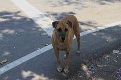 Thai dog Stock Photography