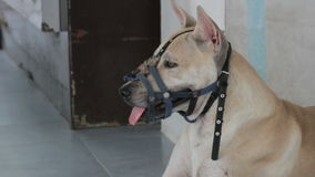 Thai dog wearing a muzzle in the park stock footage