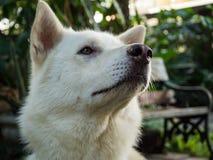 Thai dog Stock Photos