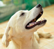 Thai dog Royalty Free Stock Photos