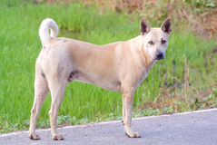 Thai dog. Yellow white dog stand on road with the green background royalty free stock photos