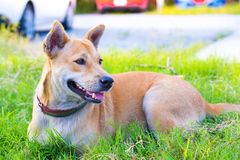 Thai dogs with blurred road background in  the house with animal friendly atmosphere. Using wallpaper or animal image.  Royalty Free Stock Images