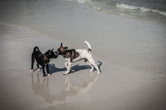 Thai dogs play on beach Royalty Free Stock Photos