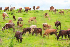 Thai domestic beef cattle Royalty Free Stock Photography