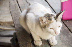 Thai domestic cat sleepy Royalty Free Stock Images