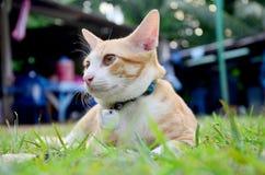 Thai domestic cats Stock Photo