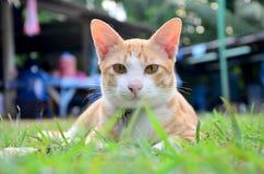 Thai domestic cats Stock Photos