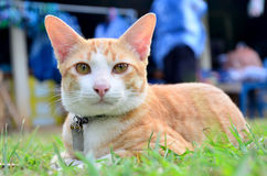Thai domestic cats Stock Images