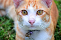 Thai domestic cats Royalty Free Stock Image