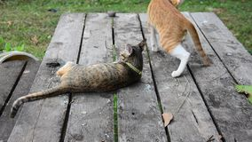 Thai domestic cats playing in garden stock video