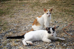 Thai domestic cats Stock Photography