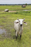 Thai domestic cattle in agricultural field Royalty Free Stock Photography