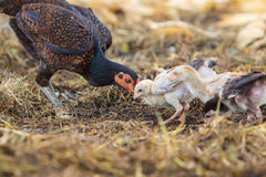 Thai domestic chicken hen feeding with baby chicken on rural gro Stock Photo