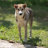 Thai domestic dog Royalty Free Stock Photos