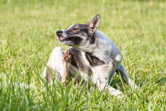 Thai domestic dog scratching its face on green grass. In the garden Stock Image