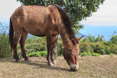 Thai domestic horse eating grass on ranch farm  field Stock Images