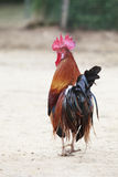 Thai domestic low red jungle fowl standing on ground Royalty Free Stock Photos