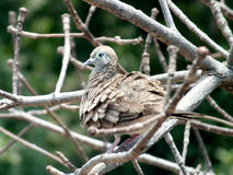 Thai dove. Picture of Thai dove in tree Stock Photography