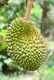 A Thai Durain Stock Photography