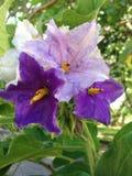 Thai eggplant flower Royalty Free Stock Photos