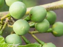 Thai Eggplant Fruit Royalty Free Stock Photography