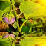 Thai Eggplant on tree Stock Photography