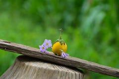 Thai Eggplant Royalty Free Stock Photo