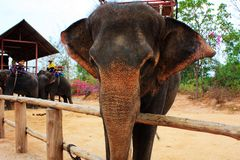 thai elefant Arkivbilder