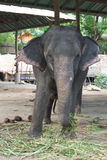 thai elefant Royaltyfri Foto