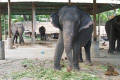 thai elefant Arkivfoton