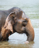 Thai elephant. Taking a bath in a river royalty free stock photography