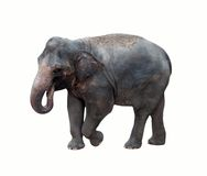 Thai elephant. Stock Image
